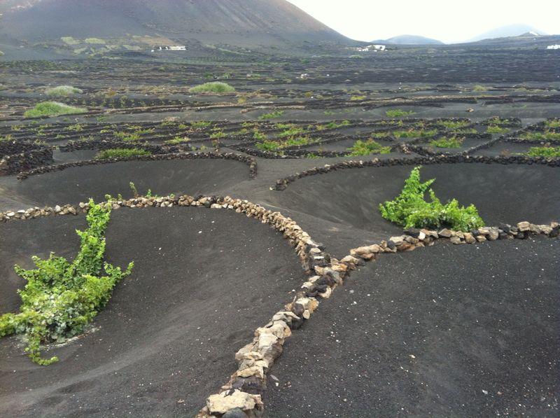 Técnica de cultivo única de Lanzarote: recobren las semillas de la vid con Picón (ceniza volcánica) y las resguardan del viento con piedras volcánicas.